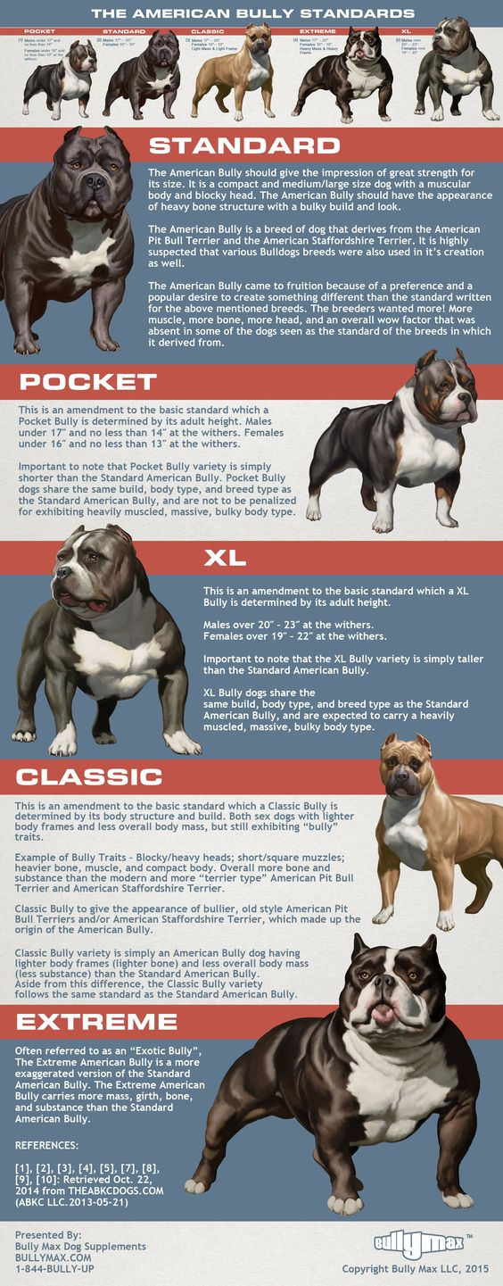 A close ancestor to the American #pitbull terrier — the #AmericanBully. The American Bully has a calmer, and more laid back demeanor. Much like the American Pit Bull Terrier, this breed is also an excellent family dog.