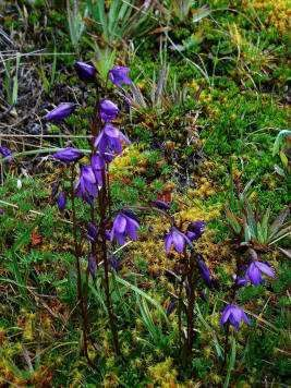 El Cajas National Park Tours: Paramo gentiana.   During the rainy season, the paramo is clad with the most colorful flowers and Licopodium with the Laguna Toreadora at the background.