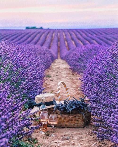 Lavenderdream Lavender Fields Lovely Lavender Lavender Plant
