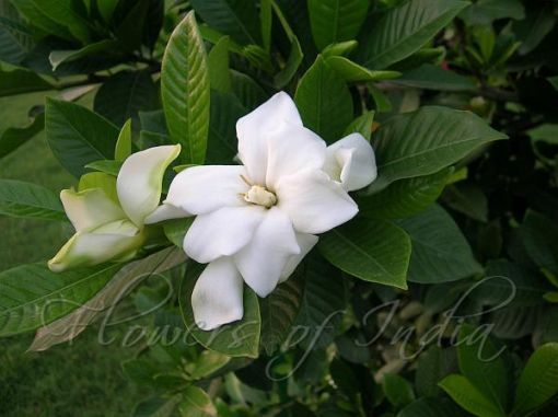 10 Reasons Why People Love Magnolia Flower Name In Telugu Magnolia Flower Name In Telugu In 2020 Flower Names Ftd Flowers Flowers Delivered