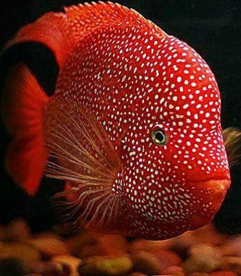 Red texas cichlid adorable central and south american for Freshwater fish in texas