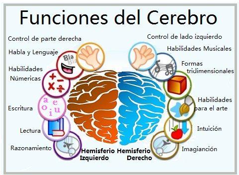 Funciones Del Cerebro Anatomia Del Cerebro Humano Cerebro Humano Funciones Del Cerebro Humano