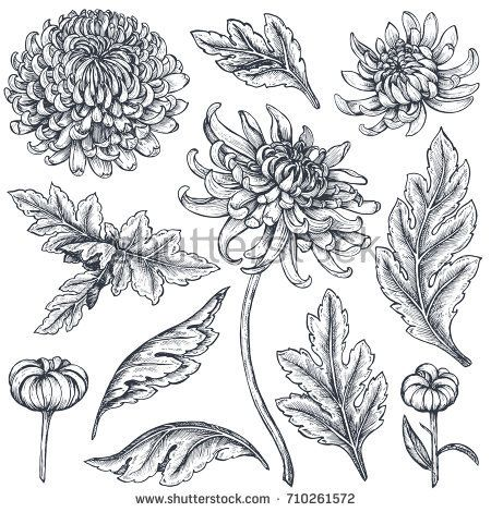 Discover This And Millions Of Other Royalty Free Stock Photos Illustrations And Vecto Chrysanthemum Tattoo Chrysanthemum Flower Drawing Chrysanthemum Drawing