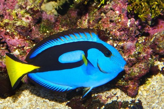 Regal Tang http://www.buzzfeed.com/tanked/the-most-beautiful-fish-in-the-world: