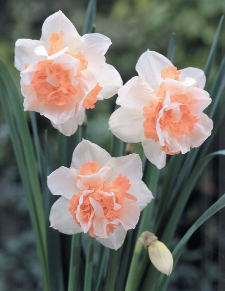 Narcissus Double Narcissus Replete Daffodils Double Flowering Daffodils Pinterest Births