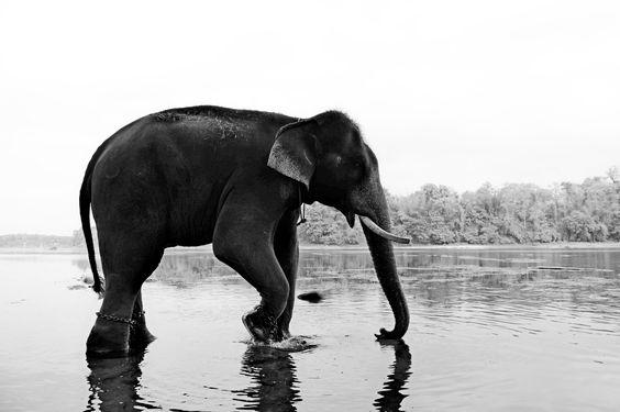 Bathing of an elephant in the Kerala Backwaters.