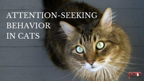 Attention Seeking Behavior In Cats With Images Cat Behavior
