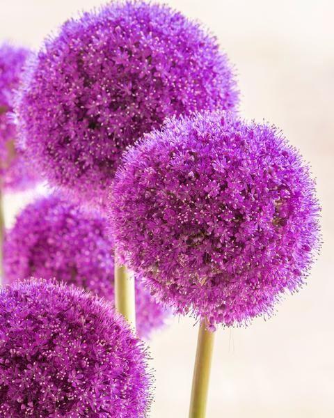 Allium Giganteum In 2020 Allium Giganteum Giganteum Bulb Flowers