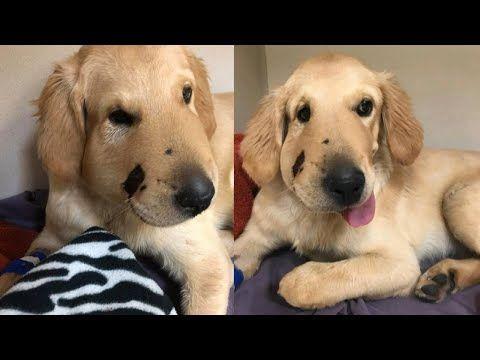 Labrador Retriever Puppies Arizona Golden Retriever Protects