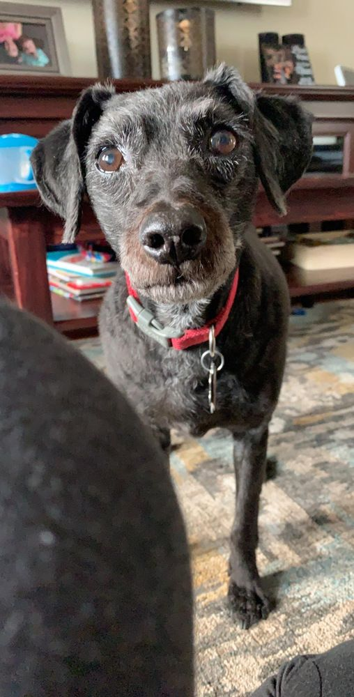 Adopt Shadow On In 2020 Dog Adoption Poodle Mix Dogs Cat Adoption
