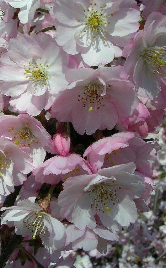Prunus Hilleri Spire Flowering Cherry Tree 7ft Half Standard 10 Litre Pot Flowering Cherry Tree Cherry Tree Specimen Trees
