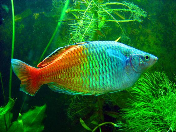 Rainbow fish fish and pets on pinterest for Peaceful freshwater fish