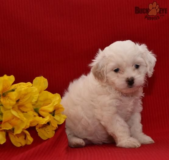 Mia Poodle Mix Puppy For Sale In Millersburg Oh Buckeye Puppies Poodle Mix Poodle Mix Puppies Puppies For Sale