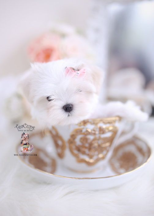 Maltese Puppy For Sale Teacup Puppies 213 In 2020 Maltese Puppy