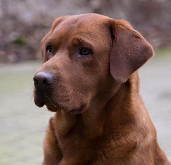 Red Fox Labrador Fox Red Labrador Red Labrador Labrador Retriever