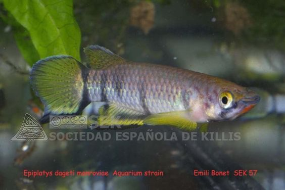 <i>Epiplatys dageti monroviae</i> - Emili Bonet Pons - Epiplatys_dageti_monroviae_-_Emili_Bonet_Pons.jpg
