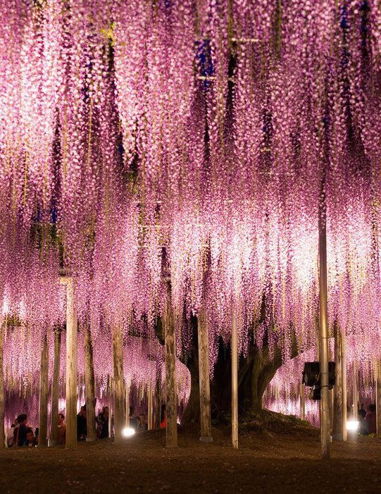 Ashikaga Flower Park, Ashikaga, Japan  Ashikaga's wisteria trees bloom brilliantly for a few weeks every spring, turning the park into a vision of pastel pinks and purples. Visiting Japan during cherry blossom season would surely be a dream.