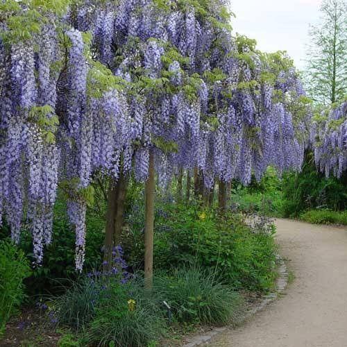Wisteria Sinensis Prolific Wisteria Plant Plants Wisteria Tree