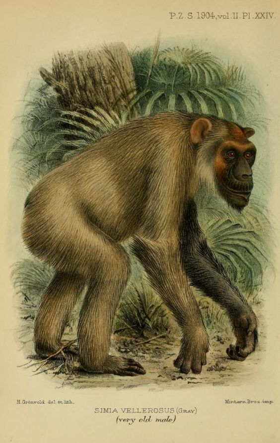 Notes on Anthropoid Apes