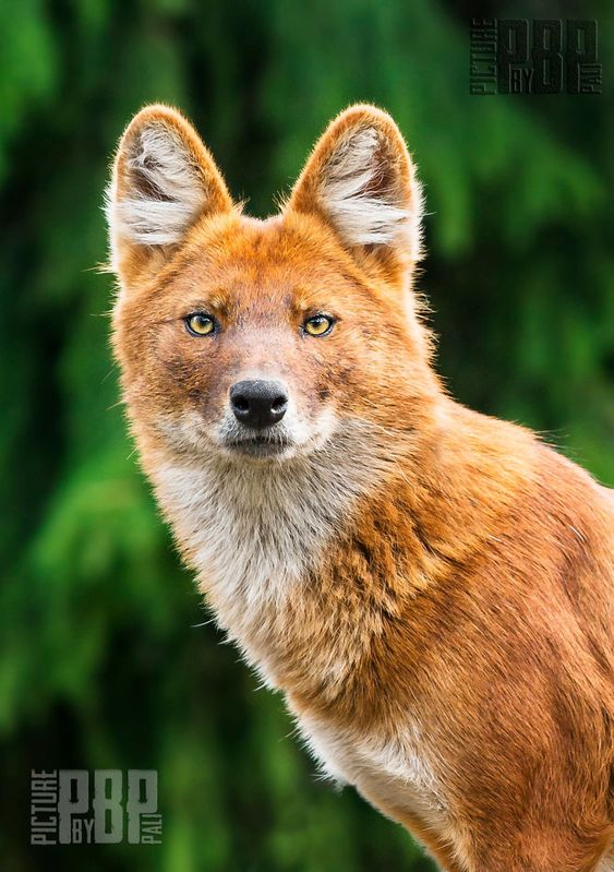 Dhole by Pali Horvat. The dhole is a beautiful species of canine native to widespread parts of Asia. An Endangered species, it is threatened by habitat loss, hunting, and conflict with humans.