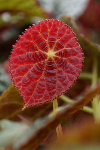 Begonia goegoensis: