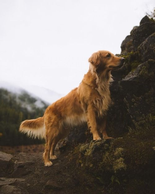 Milliethegoldendog Curious Pup Exploring Oregon At Oregon