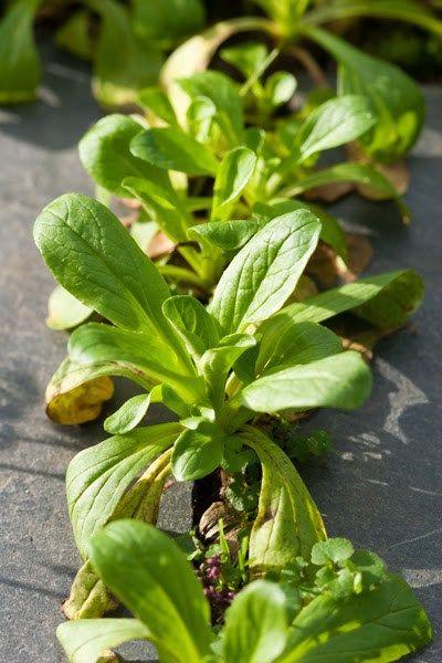 Rund Ums Jahr Eigenen Salat Ernten Erprobter Anbauplan Anbau Salat Pflanzen Gemuseanbau