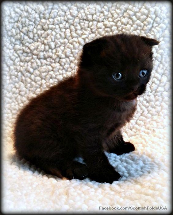 Very Rare Chocolate Scottish Fold Kitten 4 Weeks Old It Doesn T