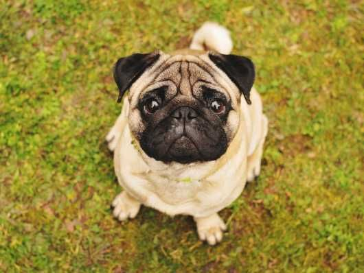 May Hegglin Anomaly Mha Dna Testing For The Pug Dog Breed