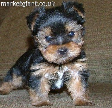 Dogs For Sale | And, Miniature Yorkie Puppies For Sale In Louisiana