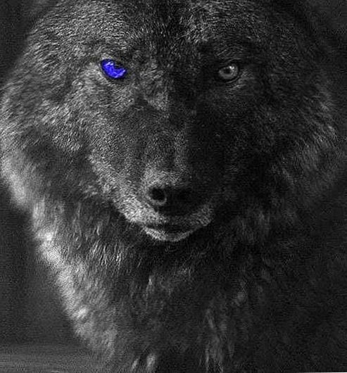 Blue Eyed Wolf Hd Wallpapers Wolf Wallpaper Wolf With Blue Eyes Wolf Black And White