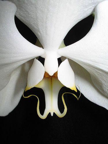 The Moth-Orchid -- Phalaenopsis -- Black Eyes; byAnubis, via Flickr