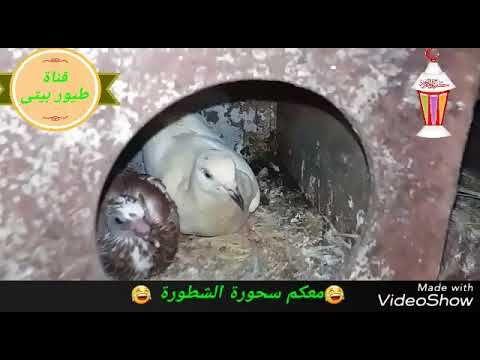 أساسيات تربية الحمام عمل مشروع مربح بالبيت More Information About Pigeons