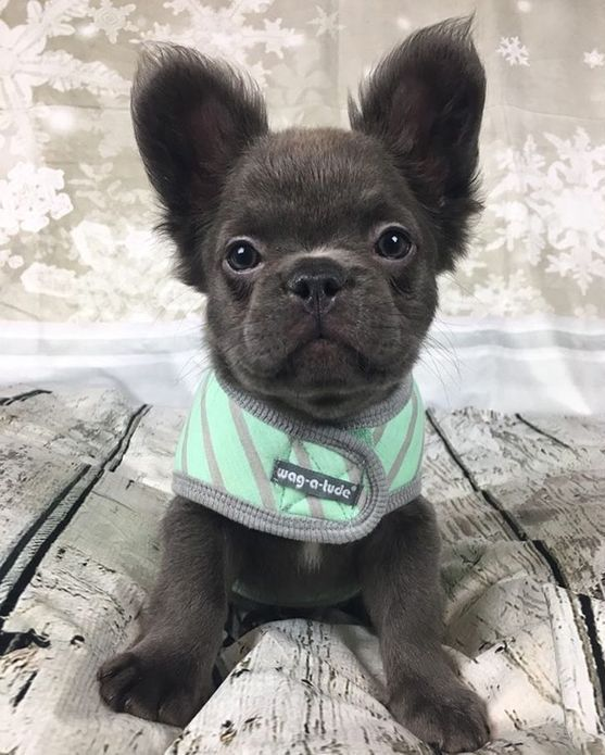Blue And Standard French Bulldogs Our Fluffy Frenchies Cute