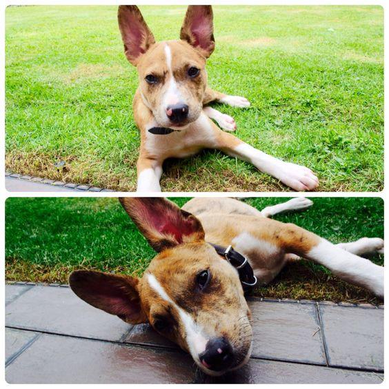 Rufus Shetland Bulldog | Pawshake Sg