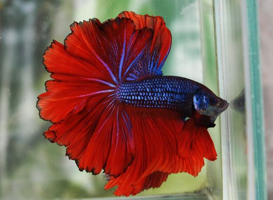 Blue Hawk Dragon Half-Moon Betta Splendens: