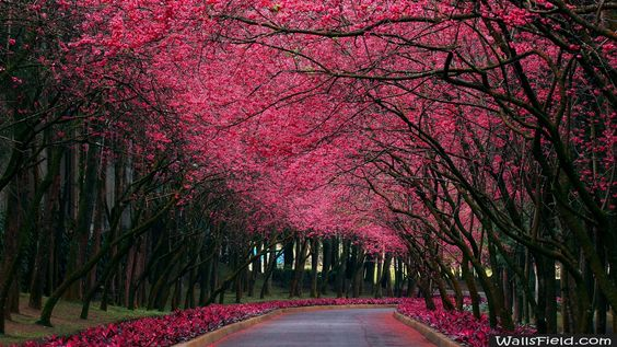 Brooming Trees Alley - http://wallsfield.com/brooming-trees-alley-hd-wallpapers/