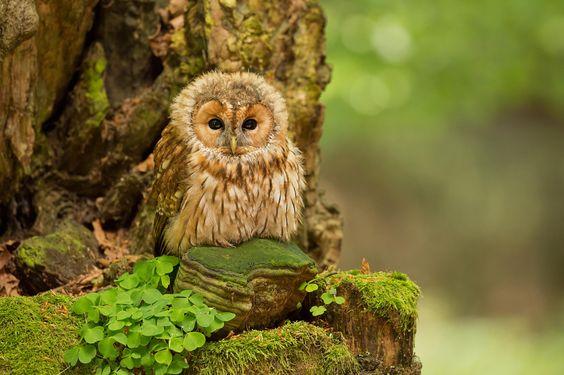 Fotografia Tawny Owl de Milan Zygmunt