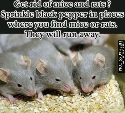 Get rid of mice and rats lifehack mice rats household get rid of mice and rats lifehack mice rats household tips and tricks diy pinterest rats mice and helpful hints ccuart Image collections