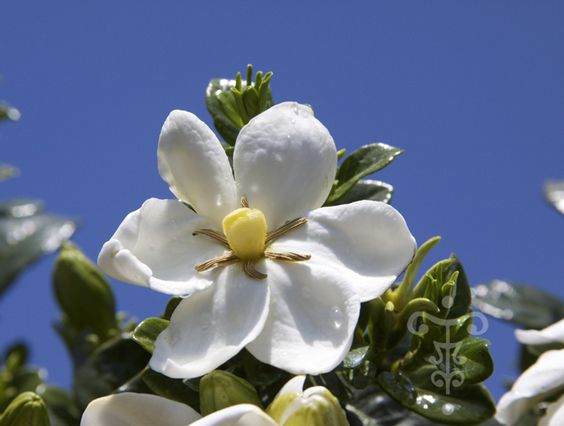 Gardenia jasminoides 'Kleim's Hardy' - Vente en ligne - gardenia - Pepiniere…
