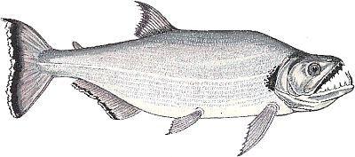peixe CACHORRÃO
