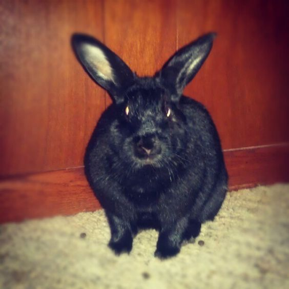 my #rabbit Zeppelin. Shes a beast.