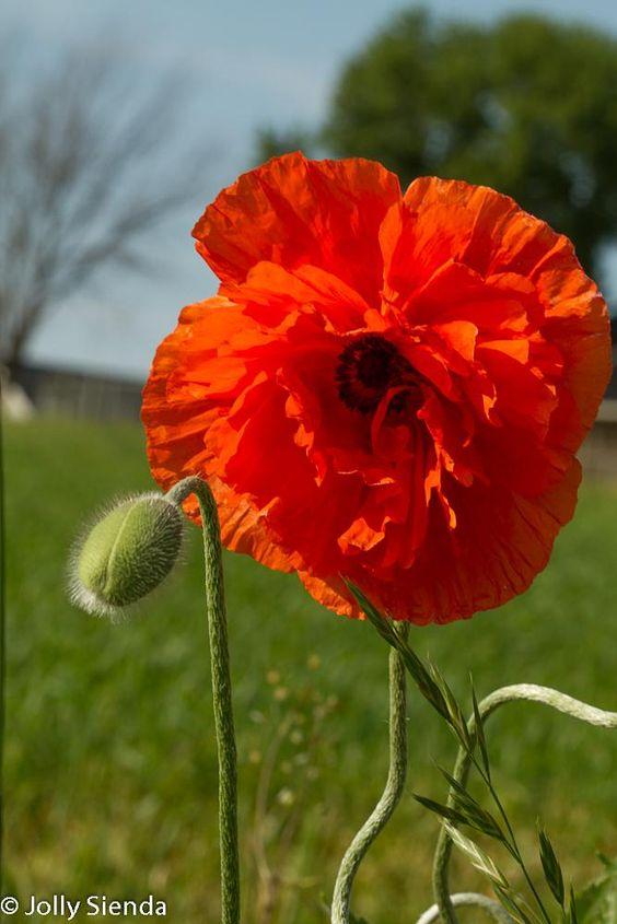 Poppy's by Jolly Sienda