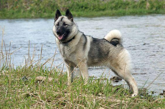 Ein Norwegischer Elchhund (grau)