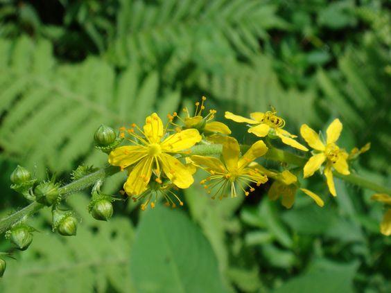 キンミズヒキ(金水引)  細長い花穂のようすを金色の水引にたとえて名付けられた。  夏から秋にかけて花を咲かせます。