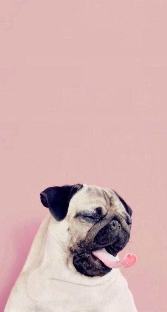 Sleepy Pug Wallpaper Dog Wallpaper Dog Wallpaper Iphone