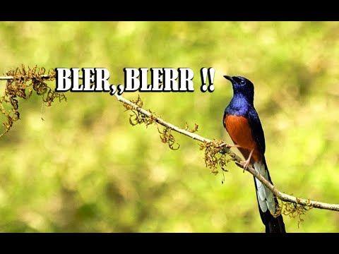Geberan Suara Murai Batu Paling Cepat Bikin Nyaut Dijamin Burung Biasa Batu Bikins Bird