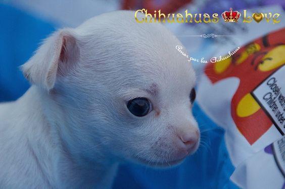 chihuahua blanco cachorro