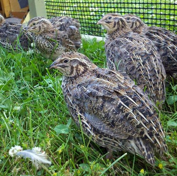 Quails, Raising and Homesteads on Pinterest Raising Quail