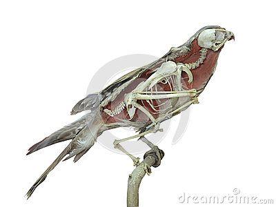 Oiseau bourré de faucon avec l intérieur de squelette d isolement au-dessus du blanc